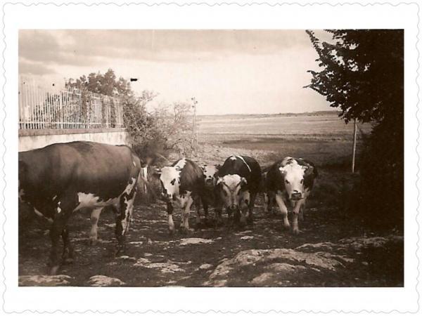 Elevage de vaches laitieres